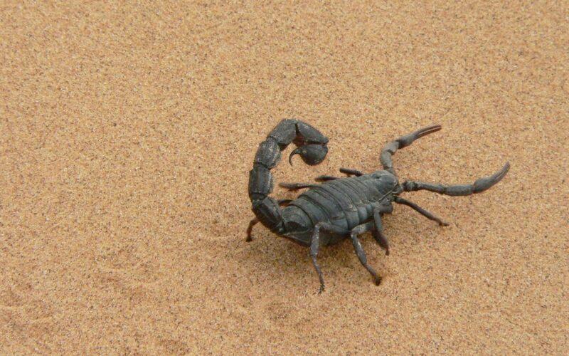 Soñar con el escorpión