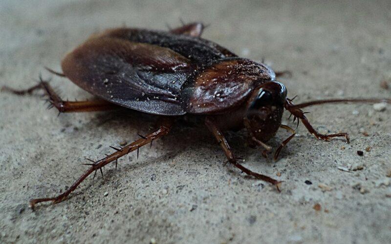 Soñar con cucarachas