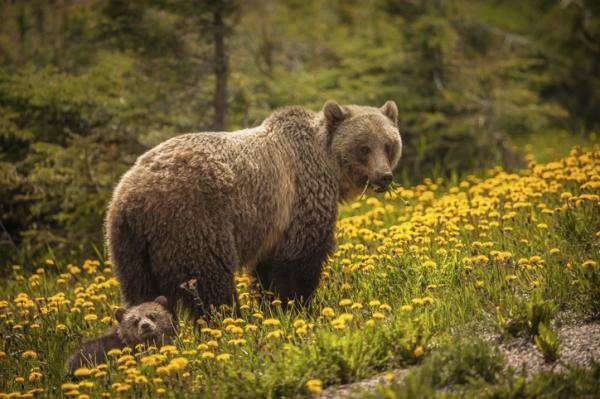Qué significa soñar con osos - Qué significa soñar con osos marrones