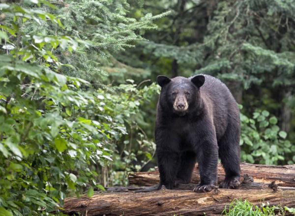 Qué significa soñar con osos - Significado de soñar con osos negros