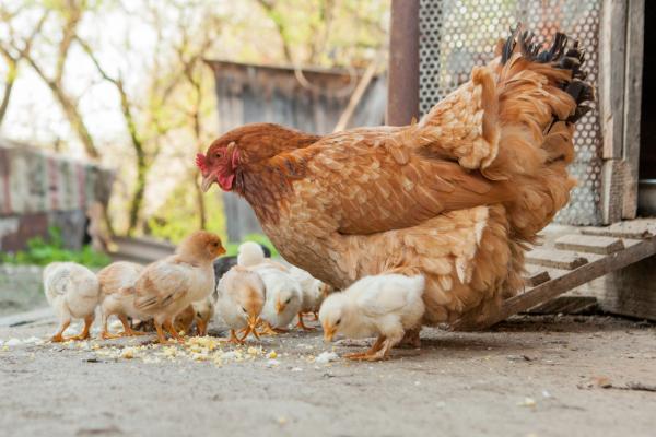 Qué significa soñar con gallinas - Qué significa soñar con gallinas con pollitos