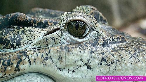 sonado con cocodrilos