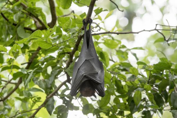 Qué significa soñar con murciélagos - Qué significa soñar con murciélagos negros