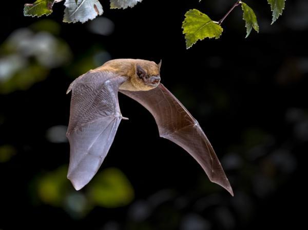 Qué significa soñar con murciélagos - Qué significa soñar con murciélagos que vuelan